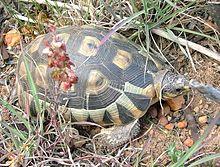 220px-Chersina_angulata_Angulate_Tortoise_Cape_Town_4
