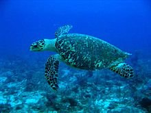 220px-Hawksbill_Turtle
