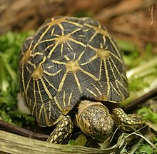 220px-Indian_Star_Tortoise