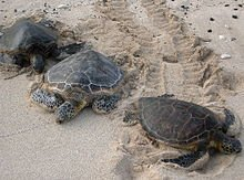 220px-Three_Kona_sea_turtles