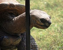220px-Washington_DC_Zoo_-_Aldabra_Tortoise_1