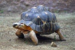 250px-Lightmatter_tortoise