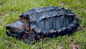 290px-Alligator_snapping_turtle