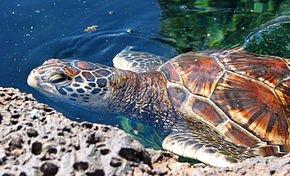 290px-Chelonia_mydas_(Hawaiian_variety)