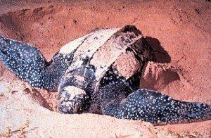 320px-LeatherbackTurtle