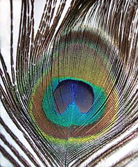 199px-Pavo_cristatus_feather-mx