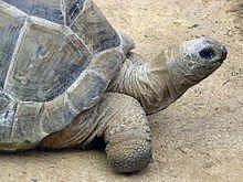 220px-Aldabra.giant.tortoise.arp