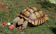220px-Geochelone_sulcata_-Oakland_Zoo_-feeding-8a