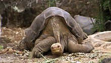 220px-Lonesome_George_-Pinta_giant_tortoise_-Santa_Cruz