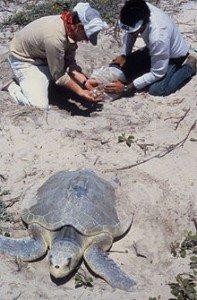 220px-Sea_turtle