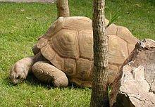 220px-Tortoise.aldabra.750pix