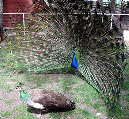 262px-Peacock_courting_peahen