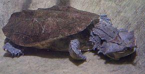 290px-Chelus_fimbriatus_2005