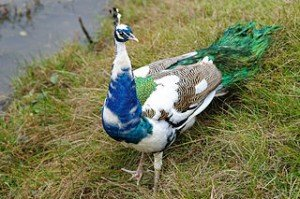 320px-Pavo_cristatus_-Oak_Mountain_Petting_Zoo,_Alabama,_USA_-colour_mutant-8