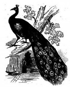 Black_and_White_Peacock_Drawing