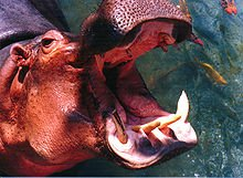 220px-Hippo_mouth1