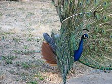 220px-Male_peacock_with_feathers