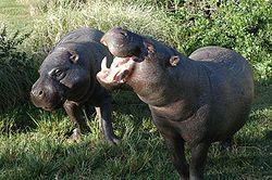 250px-Pygmy_hippopotamus_pair