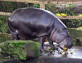 290px-Bristol.zoo.pygmy.hippo.arp