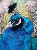 Paon bleu Pavo cristatus Indian Peafowl
