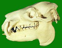 200px-Pygmy_Hippopotamus_Skull