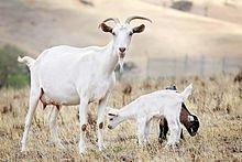 220px-Goat_family