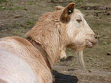 220px-Head_of_goat_J1