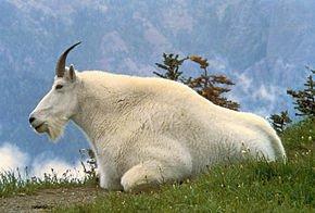 290px-Mountain_Goat_USFWS