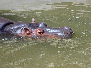 290px-Tête_d'hippopotame