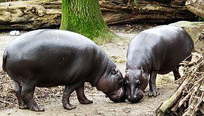 290px-Zwergflusspferd_-_Pygmy_Hippopotamus_-_Hexaprotodon_liberiensis