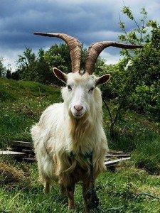 360px-Irish_Goat