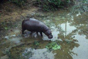 hippopotame-pygmee-300x201