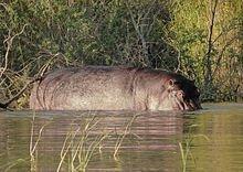 Hippopotamus_amphibius_in_Lake_Chamo_03