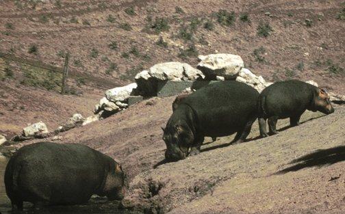 hippopotame nain taille