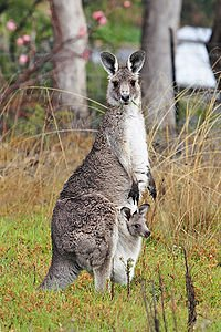 200px-Kangaroo_and_joey03