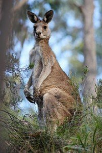 220px-Eastern_grey_kangaroo_dec07_02