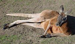 250px-Red-Kangaroo