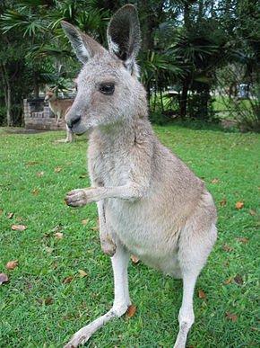 290px-Kangaroo_ST_03