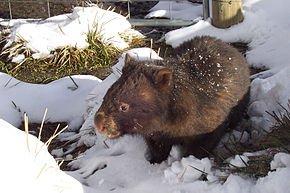 290px-Vombatus_ursinus_(Wombat_in_snow)