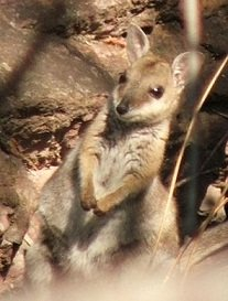 Shorteared_Rock_Wallaby