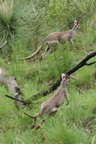 Whiptail_Wallaby