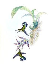 220px-Phlogophilus_hemileucurus_+_Paphinia_cristata_-_Gould_-_Humm._161