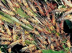 250px-Locusts_feeding