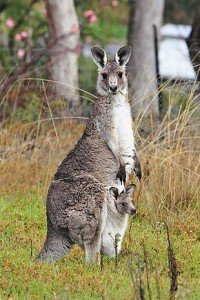 290px-Kangaroo_and_joey03