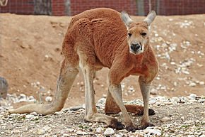 290px-Red_kangaroo_-_melbourne_zoo