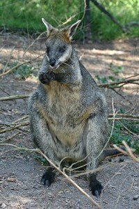 290px-Swamp-Wallaby-Feeding-3,-Vic,-Jan.2008