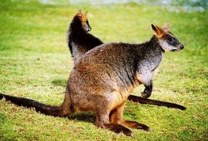 Sumpf-wallaby