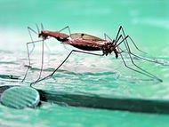 190px-Coupling_mosquitos_by_Igors_Jefimovs