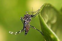 220px-Aedes_aegypti