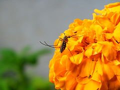 240px-Mosquito_on_Flower